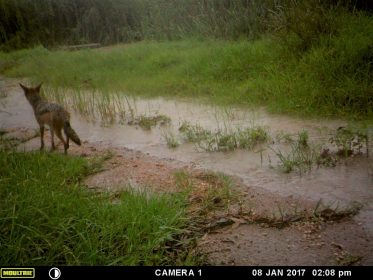 Photo of Black backed Jackal in Longmeadow, Modderfontein, January 2017