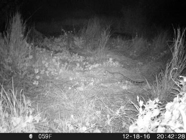 Photo of large Spotted Genet in Longmeadow, Modderfontein, December 2016