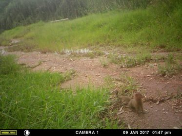 Photo of Slender Mongoose in Longmeadow, Modderfontein, January 2017