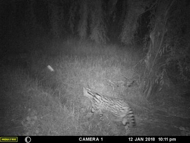 Photo of a Serval in Westlake Wetland Modderfontein, January 2018